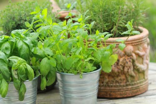 Summer Herbs in Pots