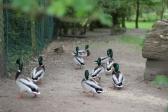 OO&L Ducks