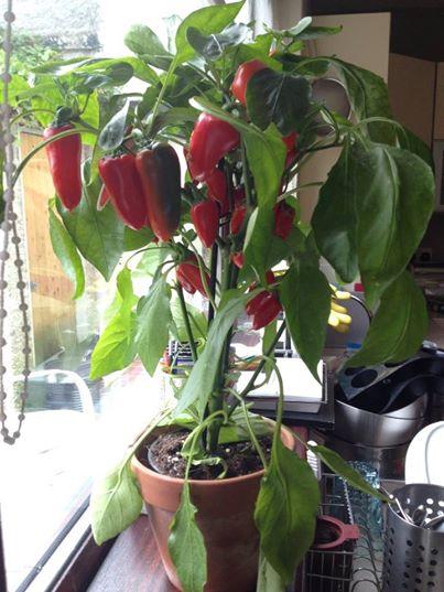 chilliplant